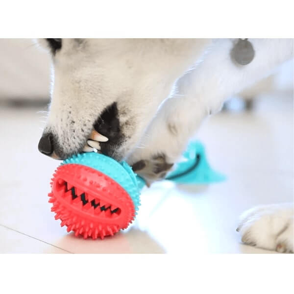 An Husky biting the Tug Ball for dogs