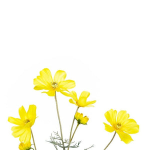 Cosmos Yellow Flowers