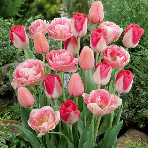 Pretty in Pink Tulips 10 Premium Bulbs