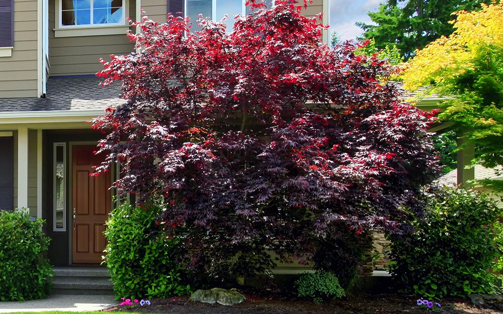 maple tree with deep red leaves in front of a suburban home