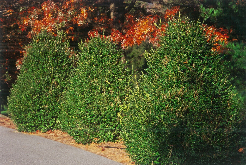 a cluster of evergreen shrubs in landscape