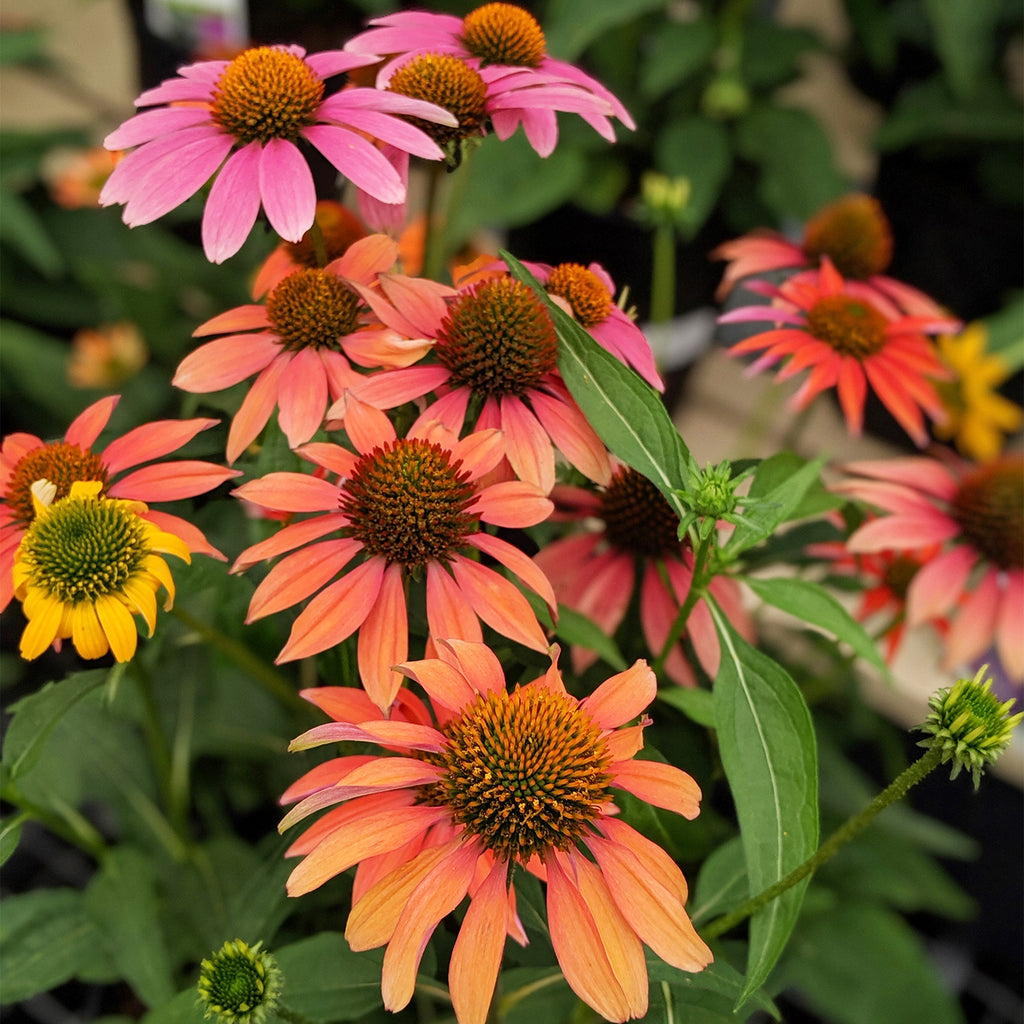 pinkish-orange Echinacea Cheyenne Spirit plants on display in garden center