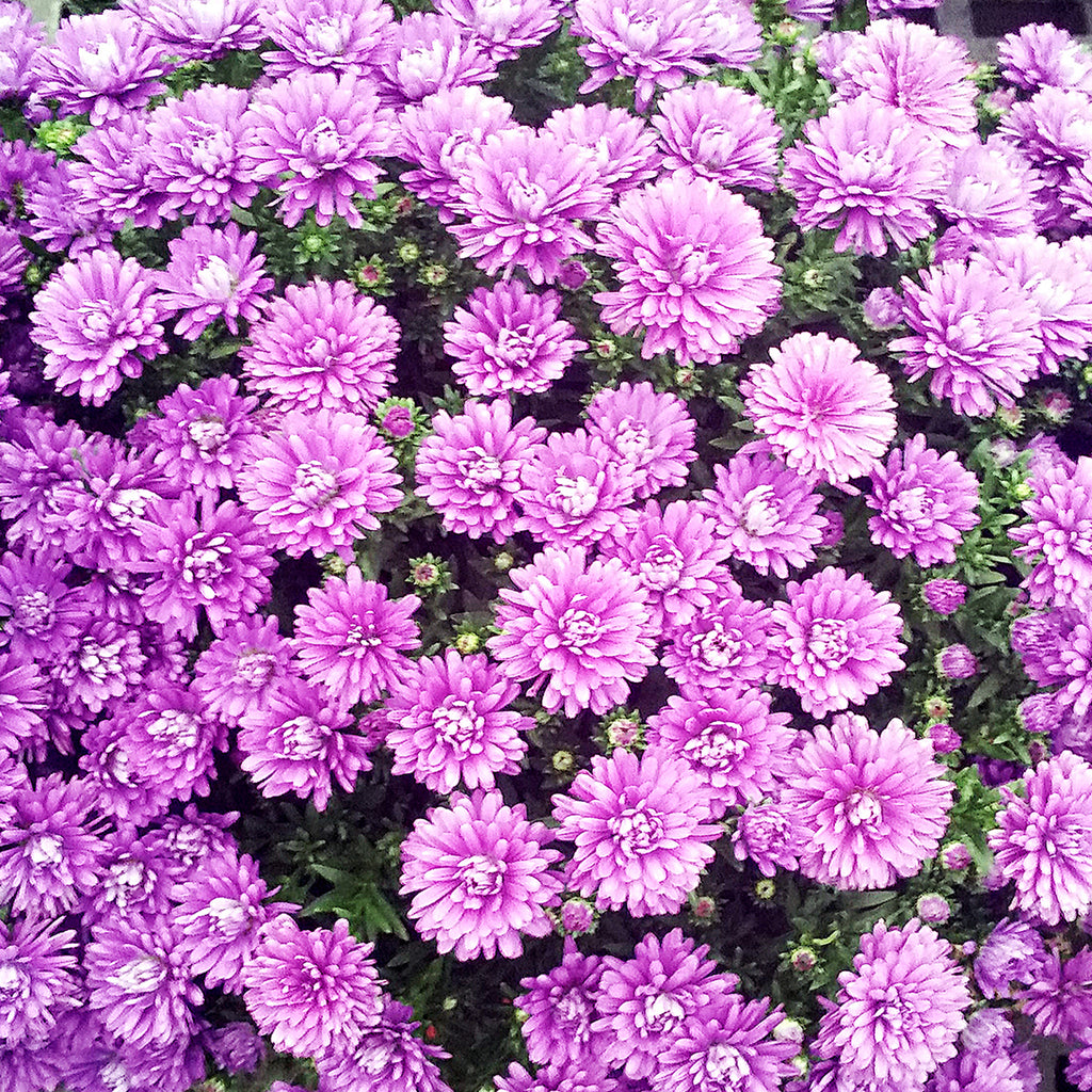 close up of purple fall aster plants