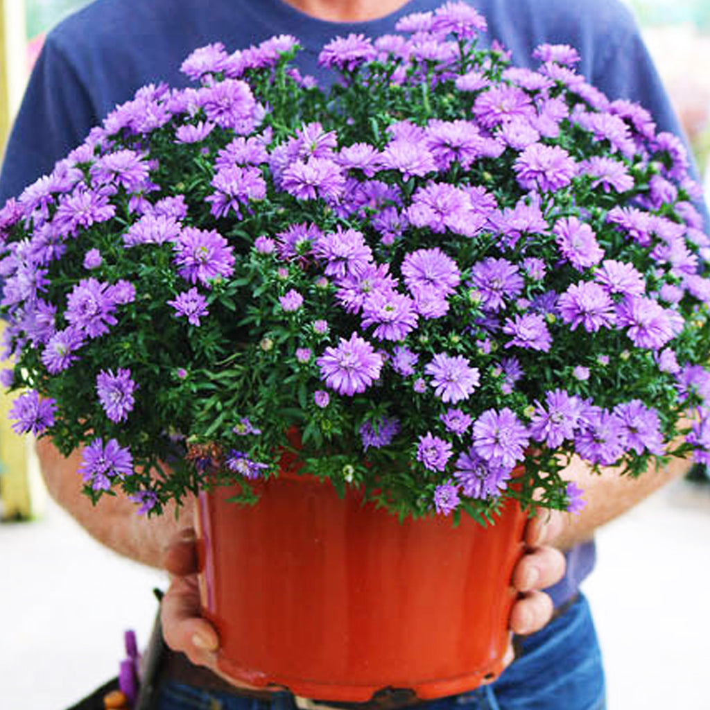 garden center employee holding potted purple fall aster plant