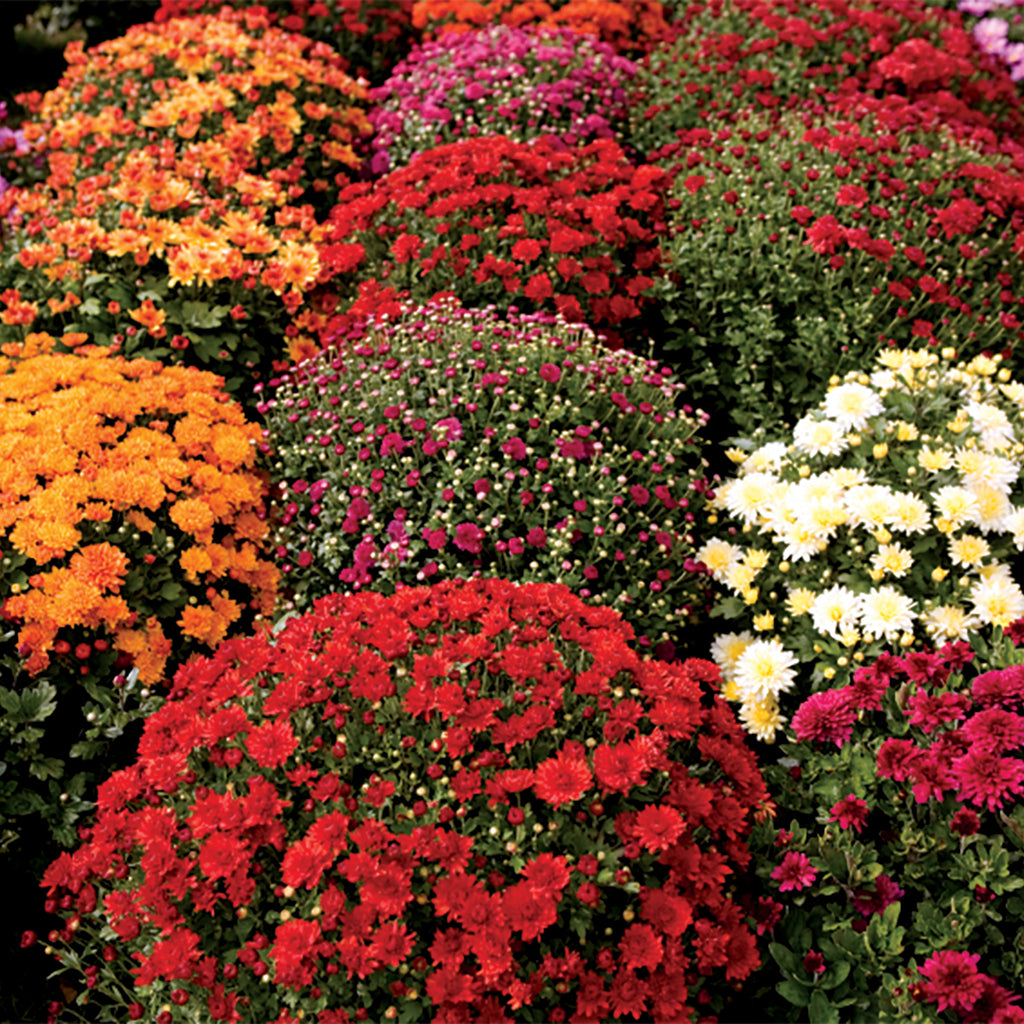clusters of orange, red, purple, and white fall mums on display at garden center