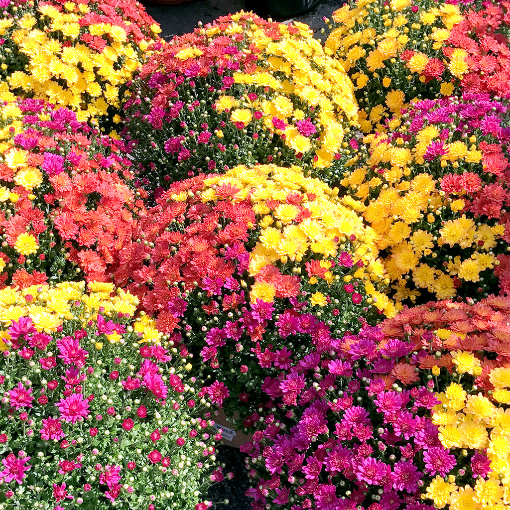 display of tri-colored red, yellow, purple fall mum at garden center