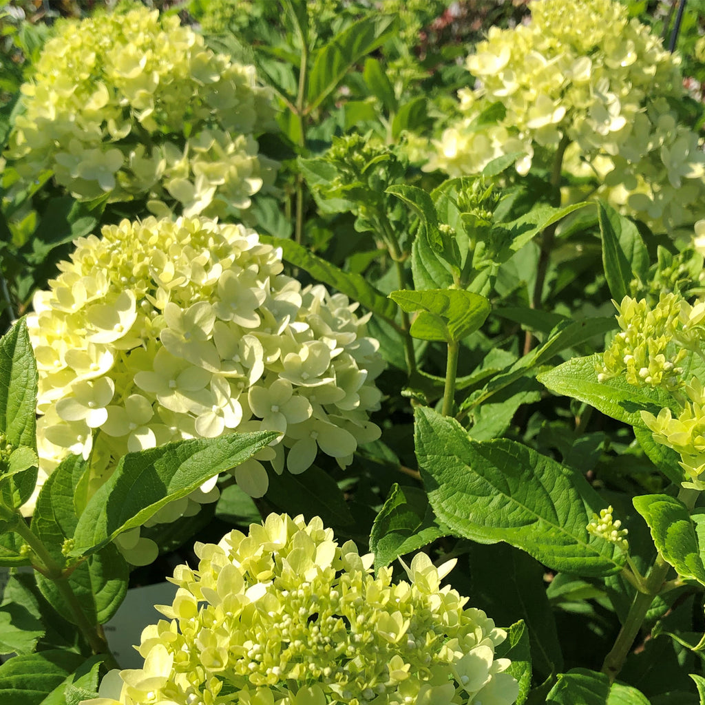 close up of lime Hydrangea Little Lime flowers