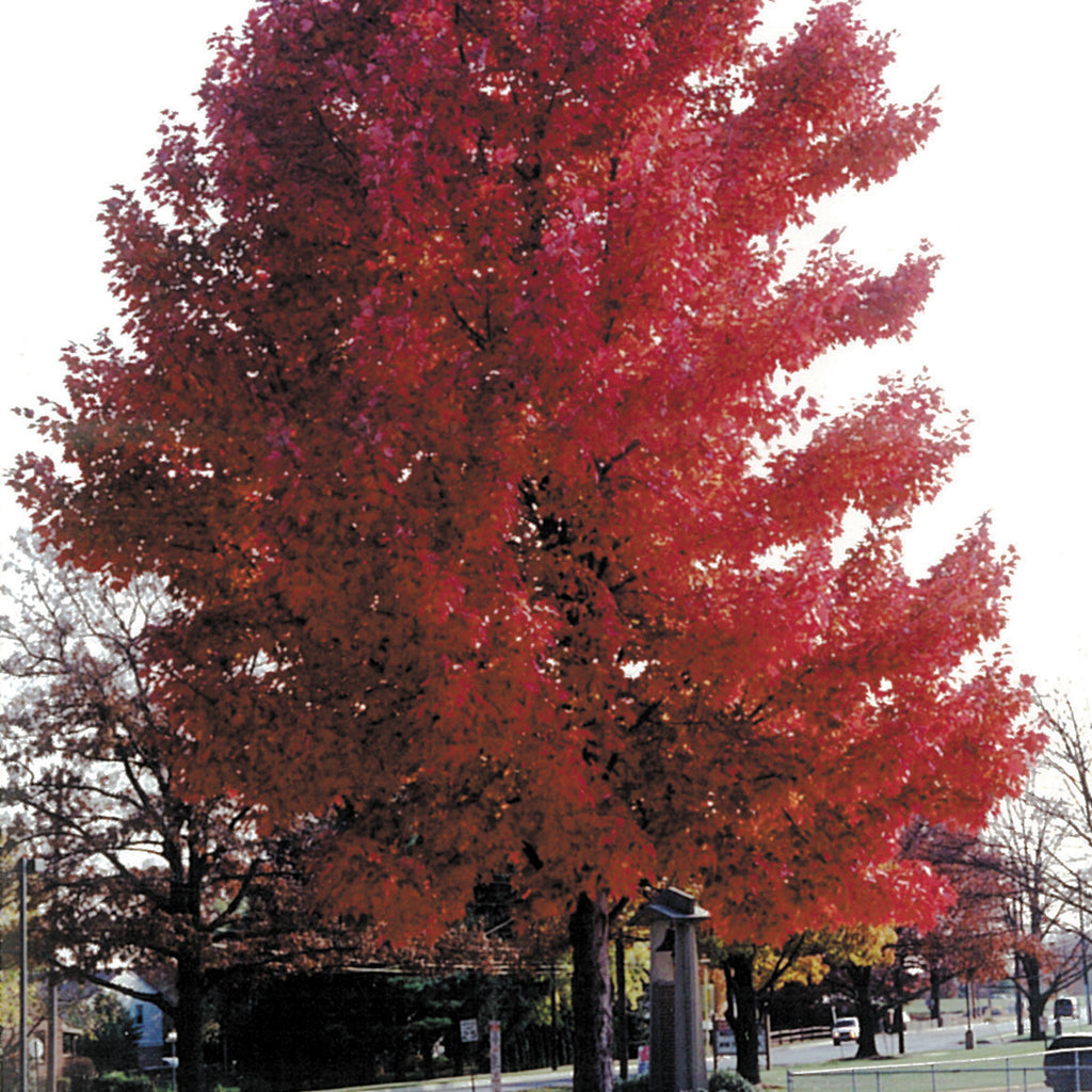 October Glory maple tree with vibrant red leaves in park