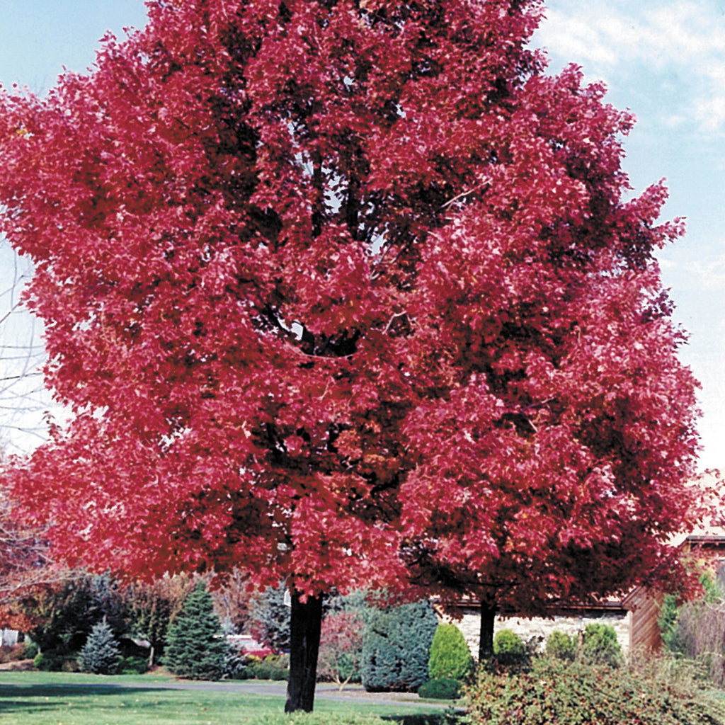 Red Sunset maple tree with red leaves in backyard landscape