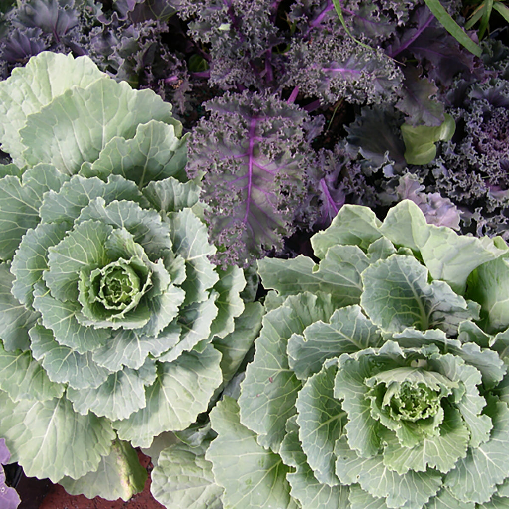 cluster of green and purple ornamental cabbage