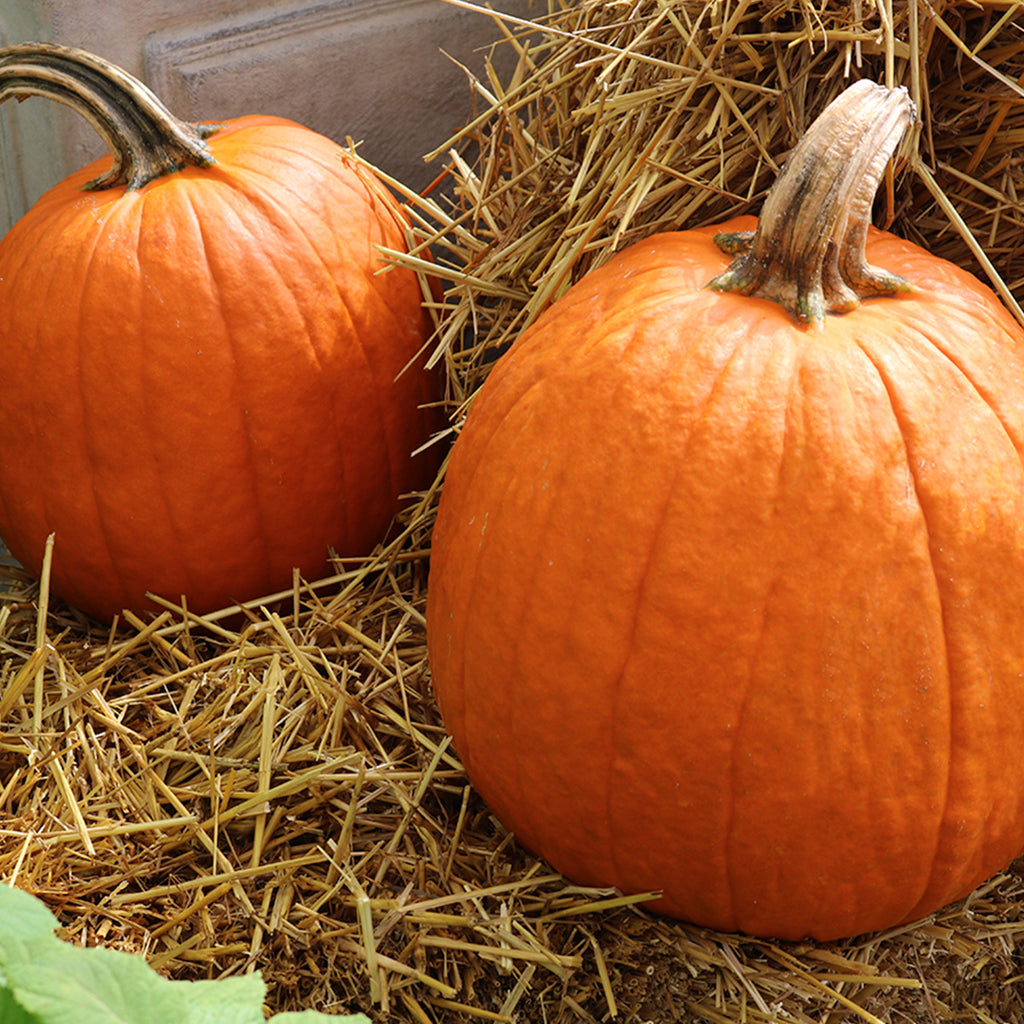 two large pumpkins displayed on hay bales