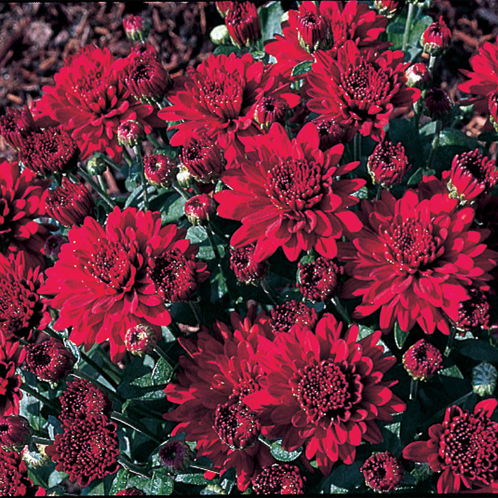 close up of red fall mums