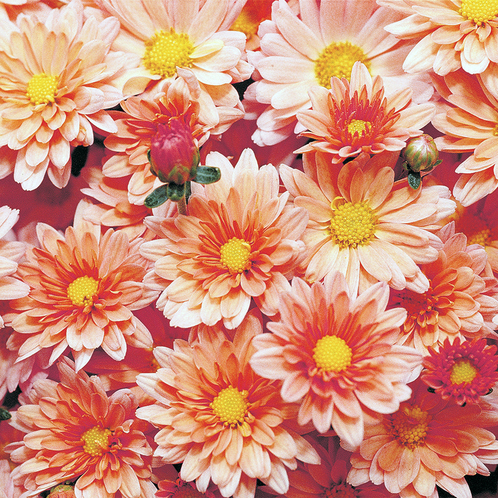 close up of blooming salmon-colored mums