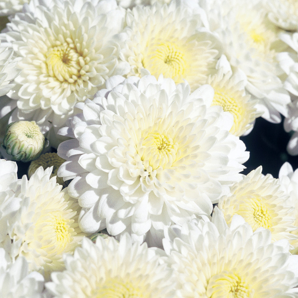 close up of white fall mums