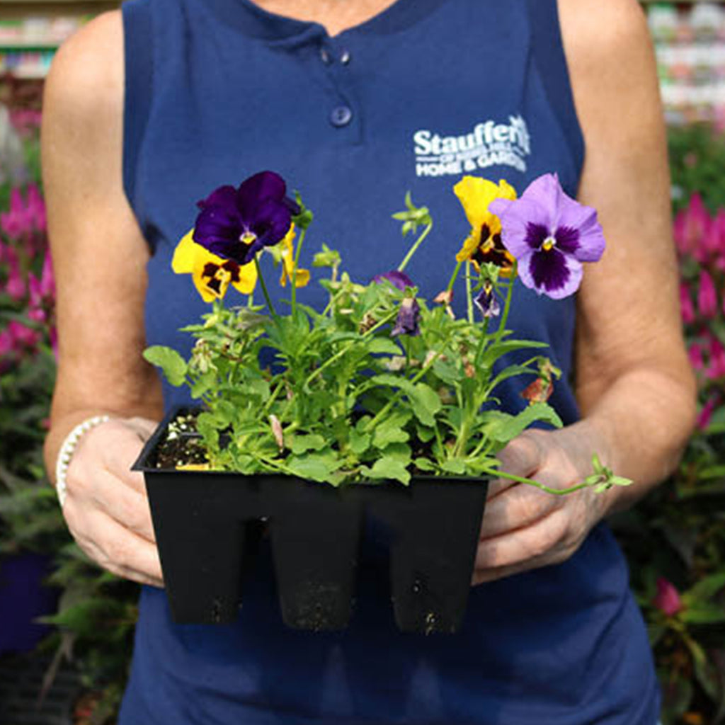 garden center employee holding a container of purple and yellow pansy plants
