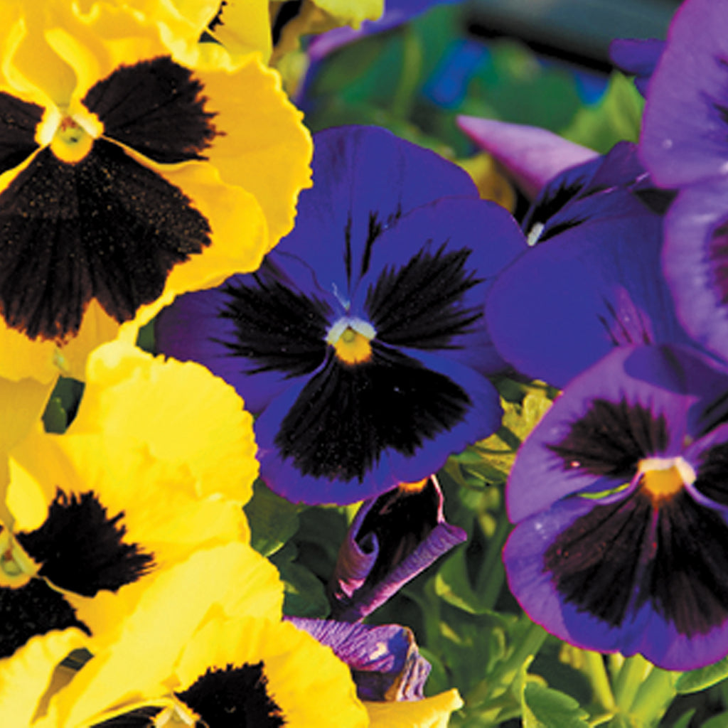 clusters of purple and yellow pansy flowers