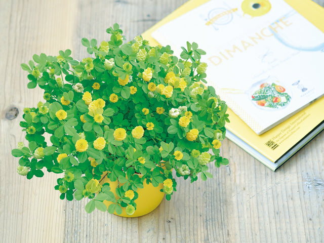 Bloom Happy Yellow Clover | 黃色三葉草