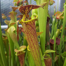 Laden Sie das Bild in den Galerie-Viewer, Sarracenia flava