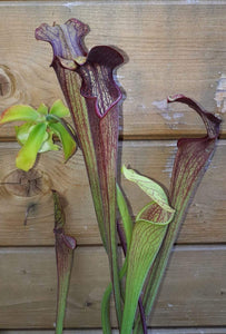 "Sarracenia alata ""Black Tube"""