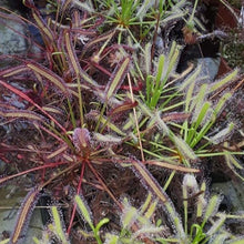 "Laden Sie das Bild in den Galerie-Viewer, Drosera capensis ""all red"""