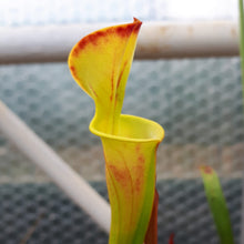 "Load image into Gallery viewer, Sarracenia flava ""Culture"""
