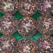 Load image into Gallery viewer, Pinguicula laueana
