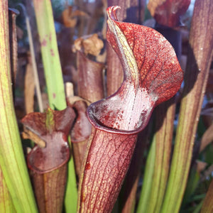 "Sarracenia rubra ""very dark"""