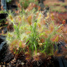 Load image into Gallery viewer, Drosera scorpioides