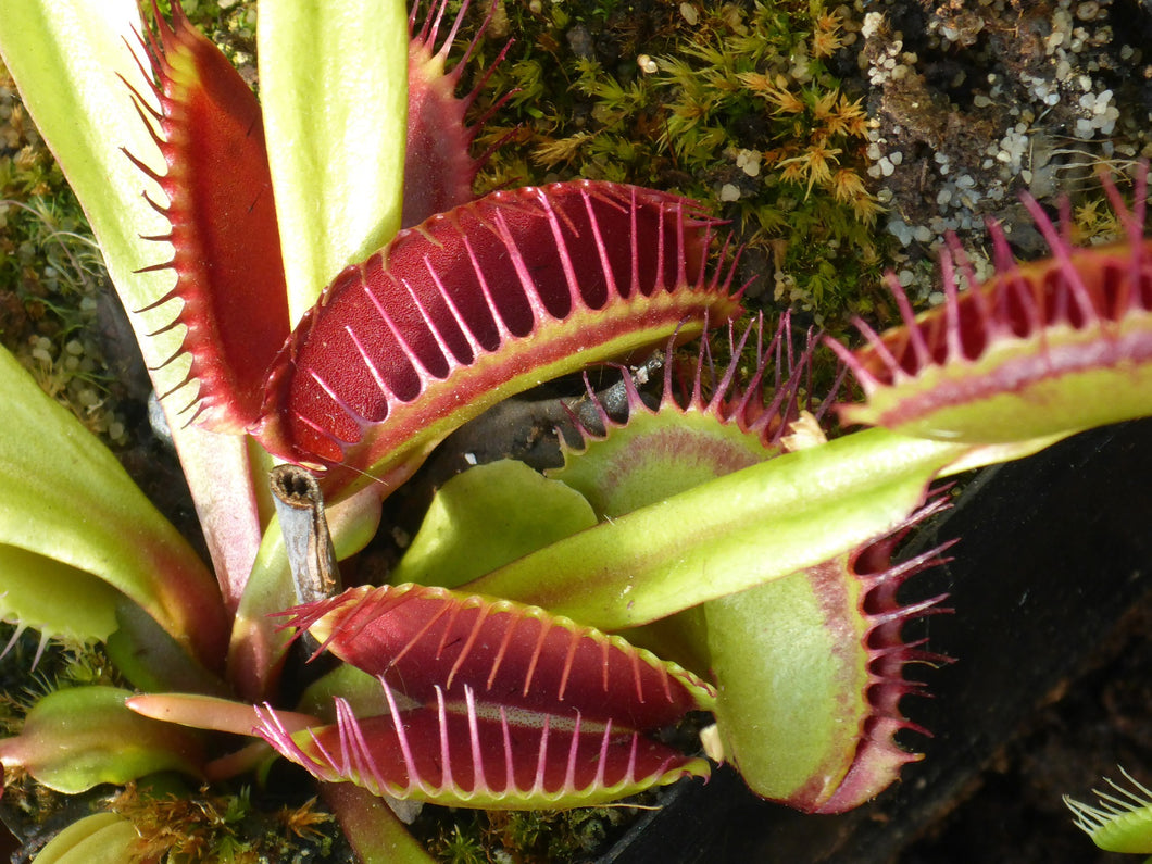 Dionaea muscipula (Typical)