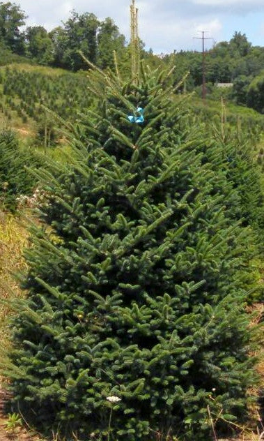 Premium -  Farm Fresh Fraser Fir Christmas Tree