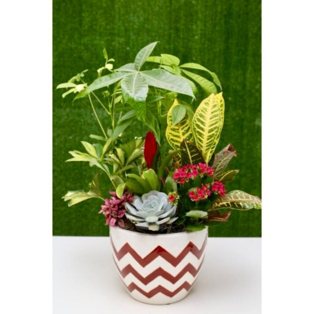 Money Plant & Succulent Large Dish Garden-Shalimar Flower Shop