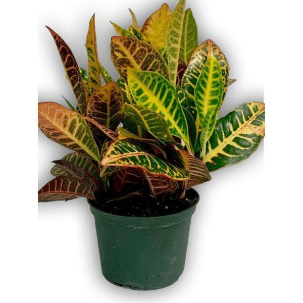 Fresh Green Spring Croton Plant in Green Container - Shalimar Flower Shop