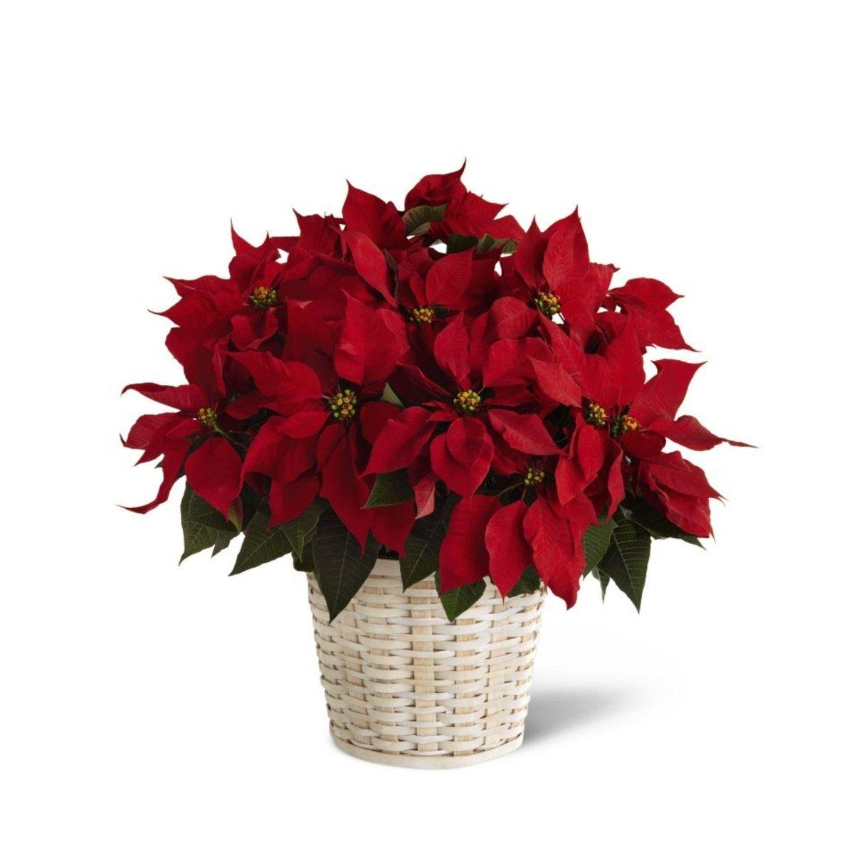 Red Poinsettia Basket (Large) - Shalimar Flower Shop