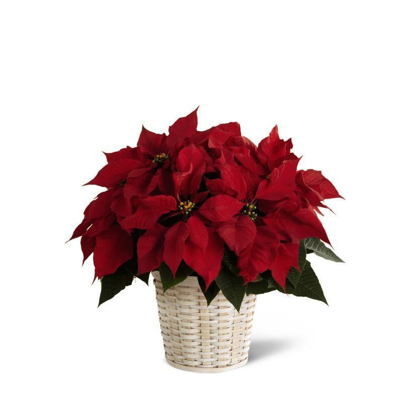 Red Poinsettia Basket (Small) - Shalimar Flower Shop
