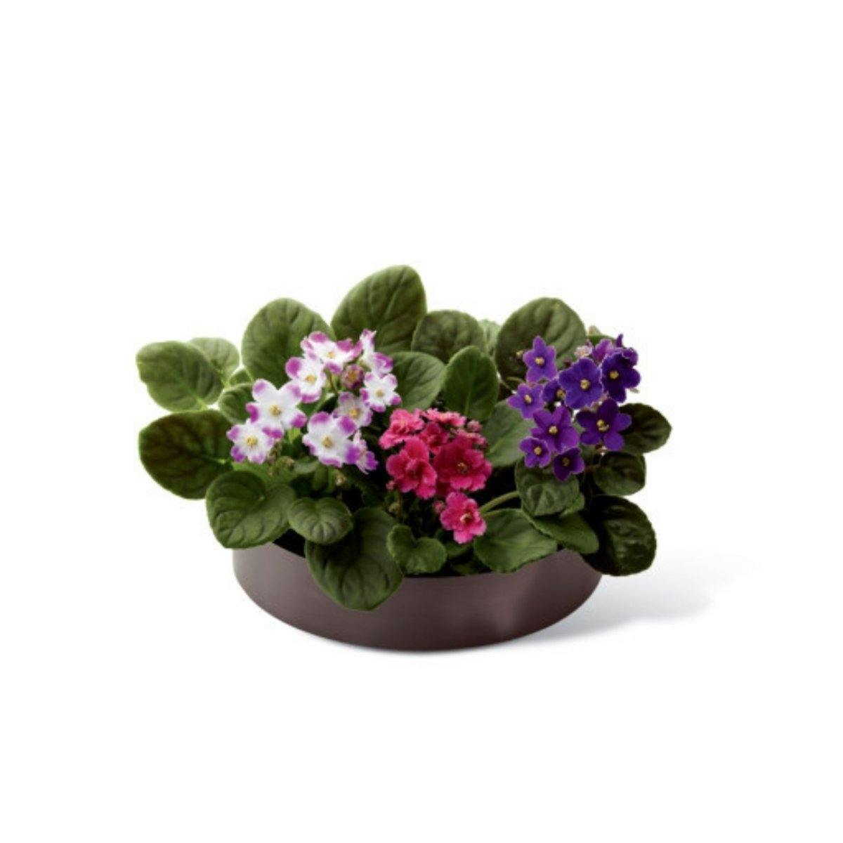 The FTD® African Violets - Shalimar Flower Shop