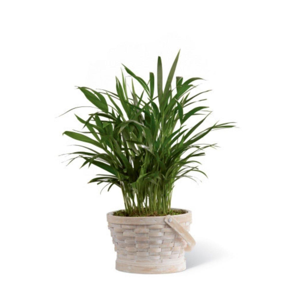 The FTD® Deeply Adored Palm Planter - Shalimar Flower Shop