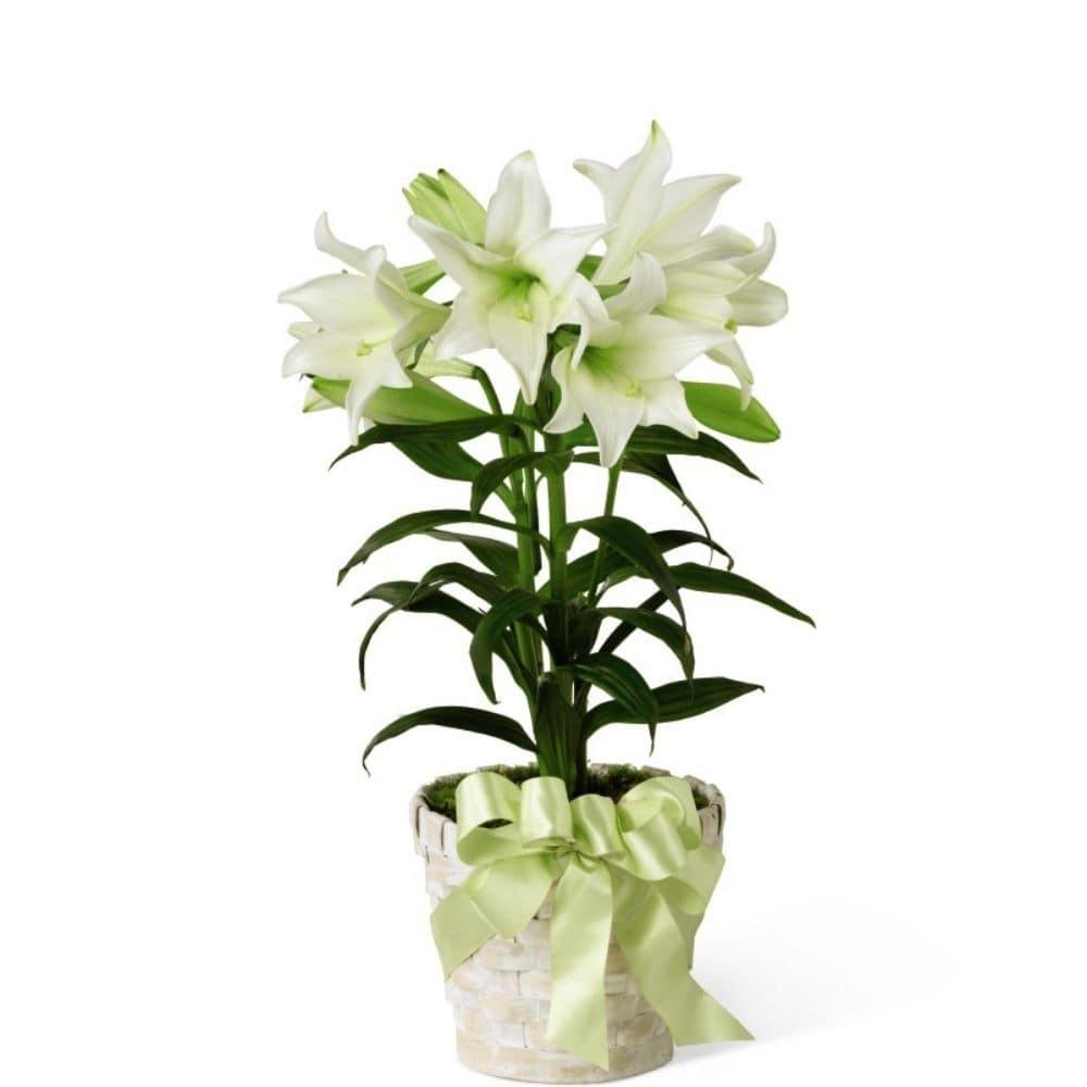 The FTD Easter Lily Plant - Shalimar Flower Shop