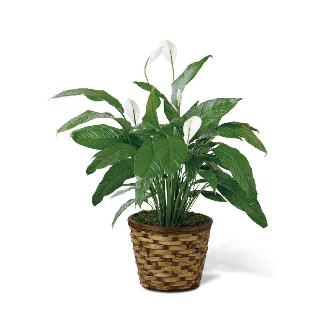 The FTD® Spathiphyllum - Shalimar Flower Shop