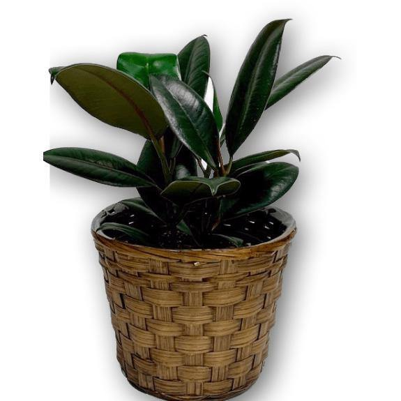 Vibrant Palm Rubber Plant in Brown Wicker Basket - Shalimar Flower Shop