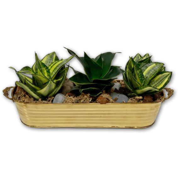 Wild Snake Plant Trio in Brass Basket - Shalimar Flower Shop