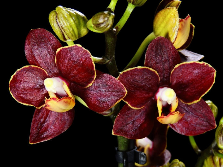 Phal. Sunrise Red Peoker 'Esmee'