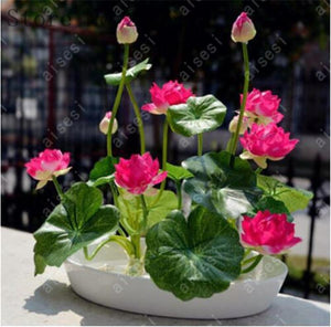 Add 4 Packs To Cart 1 is FREE! Premium Bonsai Lotus Flower Seeds (5 Seeds/Pack) - 50% OFF - Solid Gizmo