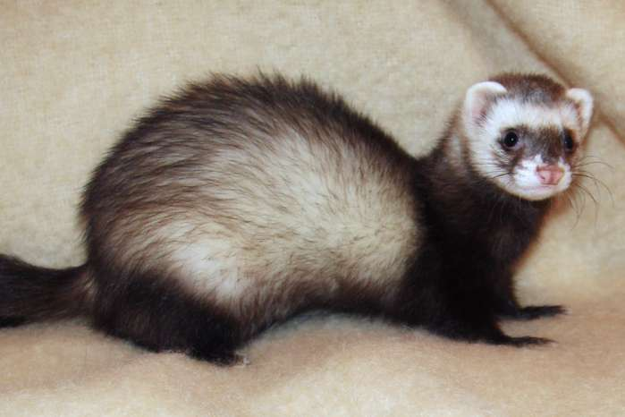 Guide To Caring For Ferrets