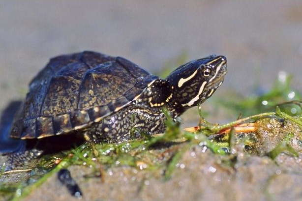 Musk Turtle (stinkpots) Care Sheet