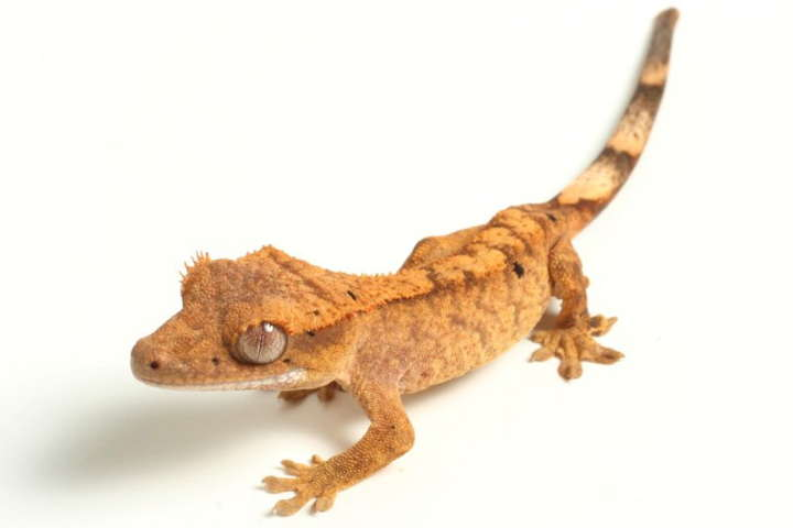 Crested Gecko Quick Facts