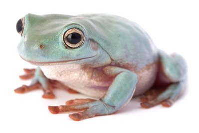 Guide To Caring For White's Tree Frogs