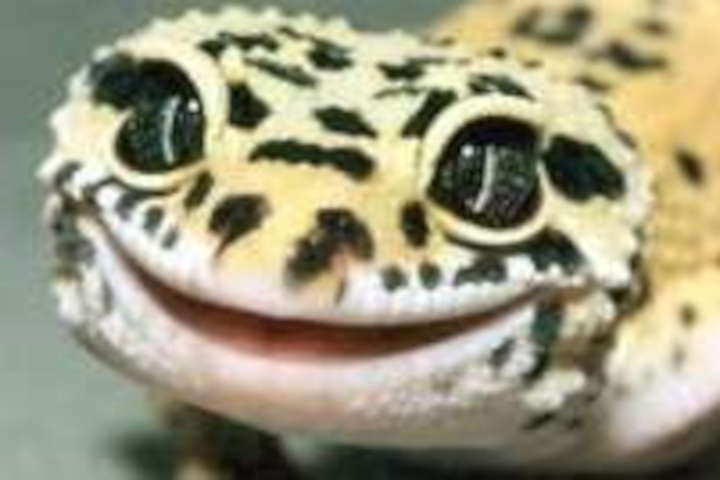Guide To Caring For Leopard Geckos