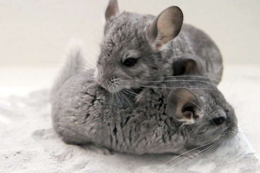 Guide To Caring For Chinchillas