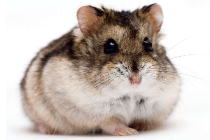 Guide To Caring For Dwarf Hamsters