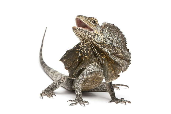 Frilled Dragon Quick Facts